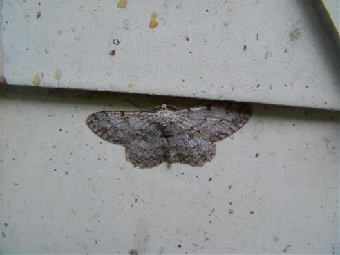 Birkenspanner(Biston betularia(L. 1758))