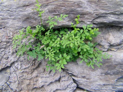 Mauerraute(Asplenium ruta-muraria(L.))