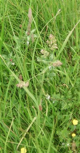Gewöhnliches Knäulgras(Dactylis glomeratat(L.))