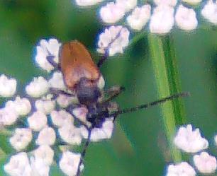 Gemeiner Bockkäfer oder Rothalsbock(Stictoleptura rubra(L. 1758))