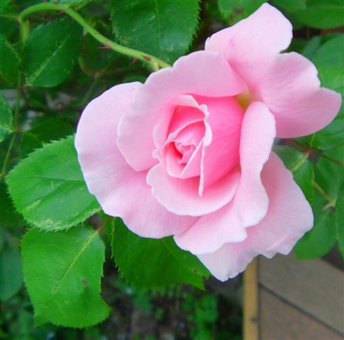 Gartenrose(Rosa indet.)