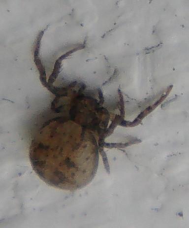 Braune Krabbenspinne(Xysticus cristatus(Clerck 1757))