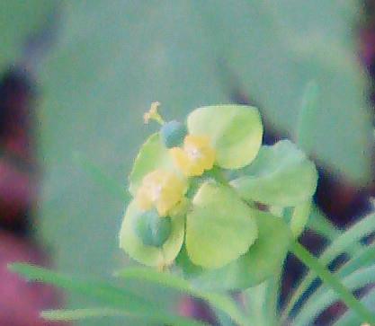 Blüte einer Scheindolde der Zypressen-Wolfsmilch(Euphorbia cyparissias(L.))