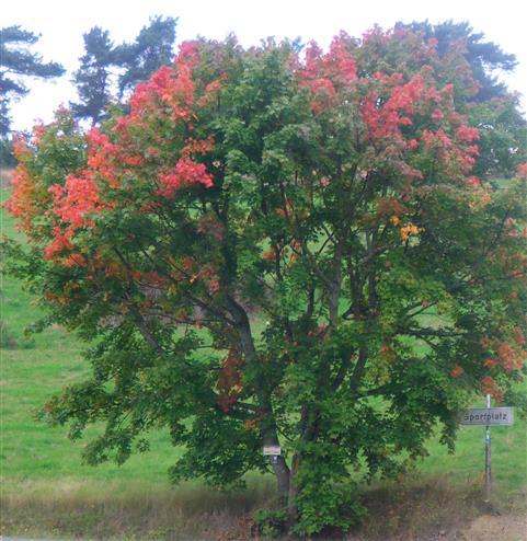 Spitz-Ahorn(Acer platanoides(L.))