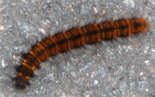 Raupe des Brombeerspinners(Macrothylacia rubi(L. 1758))
