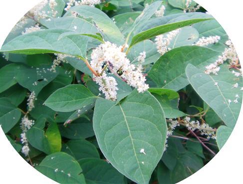 Japanischer Staudenknöterich(Fallopia japonica(Houtt.) Ronse Decr.)