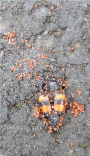 Gemeiner Totengräber(Nicrophorus vespillo(L. 1758)) mit phoretrischen Gamasina(Raubmilben)