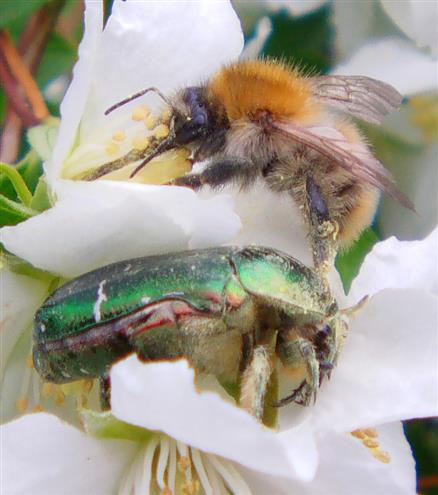 Ackerhummel(Bombus pascuorum(L. 1763)) sowie großer Rosenkäfer(Protaetia aeruginosa(L. 1767)) beim Nektar- wie Pollenfraß auf Deutie