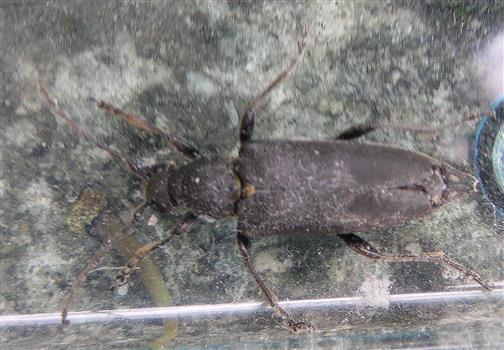 Mohren-Schmalbock(Leptura aethiops)