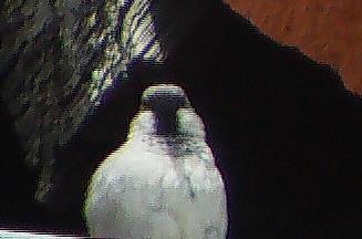 Haussperling(Passer domesticus(L. 1758)) Männchen