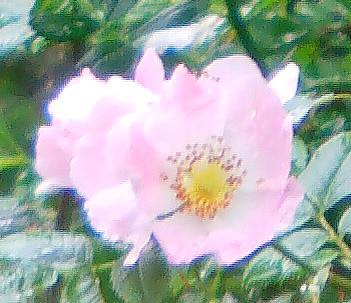 Eine Hunds-Rose(Rosa canina(L.))