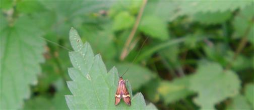 Degeers Langfühler(Nemophora degeerella) Männchen