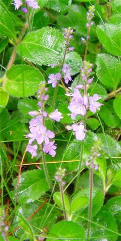 Echter oder Waldehrenpreis(Veronica officinalis(L.))
