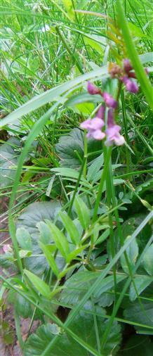 Zaun-Wicke(Vicia sepium(L.))