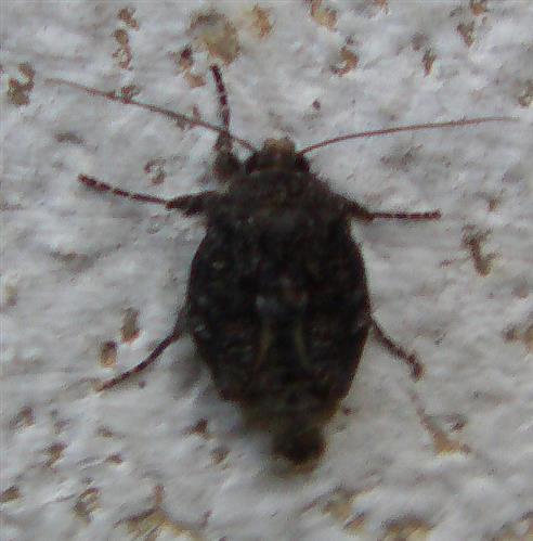 Buchen-Frostspanner(Operophtera fagata(Scharfenberg 1805)) Weibchen