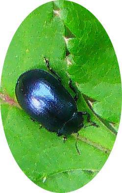 Breiter Weidenblattkäfer(Plagiodera versicolora(Laicharting 1781))