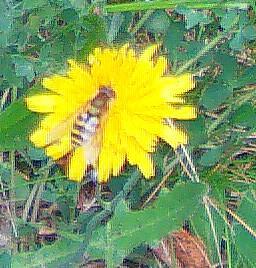 Große oder Gartenschwebfliege 1(Syrphus ribesii(L. 1758))
