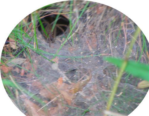 Trichternetzspinne(Coelotes terrestris(Wider 1834))
