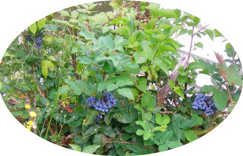 Gewöhnliche Mahonie(Mahonia aquifolium(Nutt.))