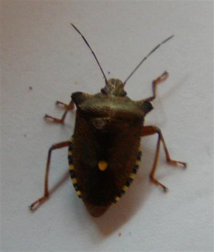 Rotbeinige Baumwanze(Pentatoma rufipes(L. 1758))
