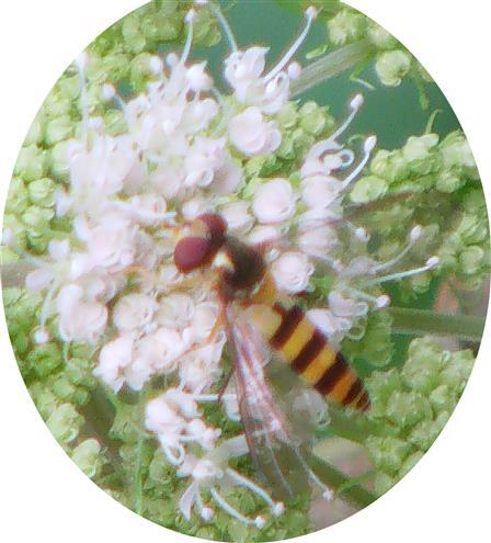 Späte Frühlingsschwebfliege(Meliscaeva cinctella(Zetterstedt 1843))