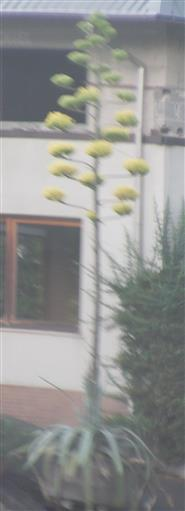 Agave(L.)