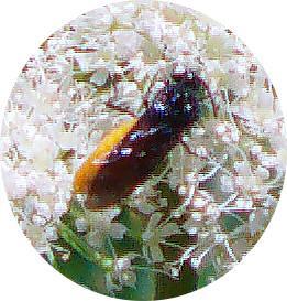 Bürstenhornblattwespe(Arge pagana)