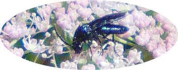 Blattwespe(Arge gracilicornis)