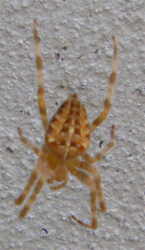 Gartenkreuzspinne(Araneus diadematus(Clerck 1757)) Weibchen