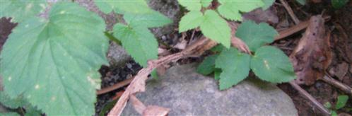 Junge Blindschleiche(Anguis fragilis(L. 1758))