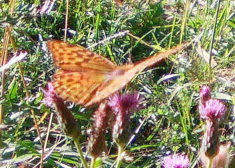 Kaisermantel 1(Argynnis paphia(L. 1758))