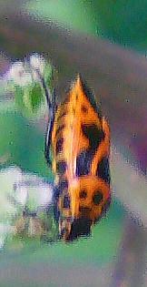 Geschmückte Baumwanze(Eurydema ornatum(L. 1758))