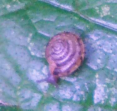 Gemeine Haarschnecke(Trochulus hispidus(L. 1758))