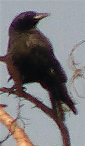 Rabenkrähe(Corvus corone(L. 1758))