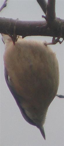 Kleiber(Sitta europaea(L. 1758))