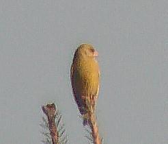Grünfink(Carduelis chloris(L. 1758))