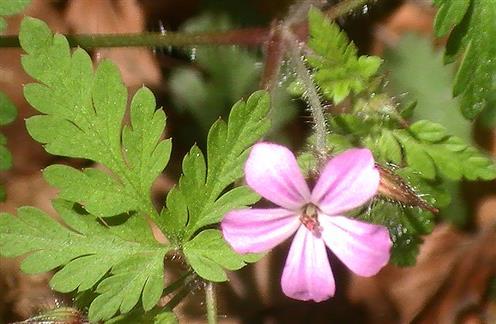 Ruprechtskraut(Stinkender Storchschnabel)(Geranium robertianum(L.))