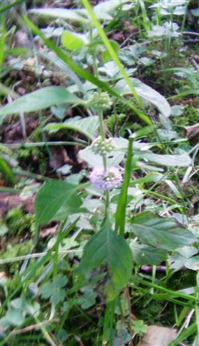 Ackerminze(Mentha arvensis(L.))