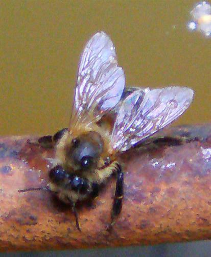 Westliche Honigbiene(Apis mellifera(L. 1758)) auch bei Aufnahme von Feuchtigkeit