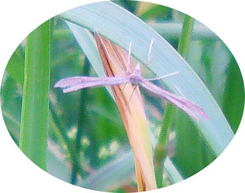 Federmotte(Pterophoridae)