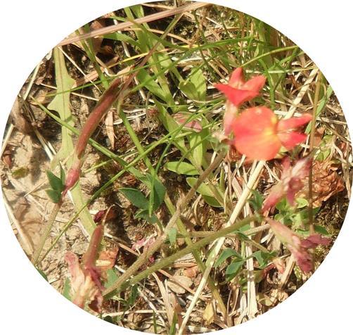 Gewöhnlicher Hornklee(Lotus corniculatus(L.))