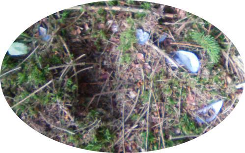 (Scherzbild(?)) Miesmuschel-(Pfahlmuschel-)schalen auf dem Waldboden eines Fichtenwaldes?