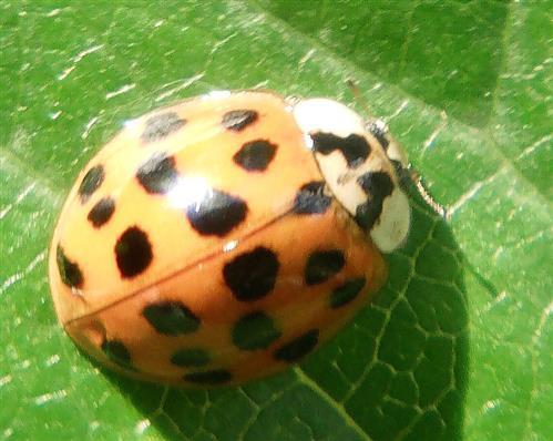 Asiatischer Marienkäfer(Harmonia axyridis(Pallas 1771))