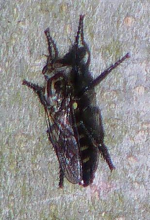Gemeine Raubfliege(Tolmerus aggr.)