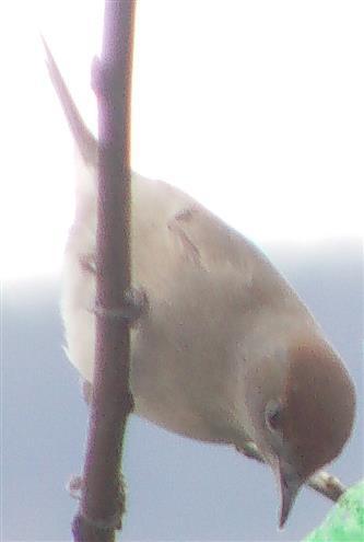 Mönchsgrasmücke(Sylvia atricapilla(L. 1758)) Weibchen