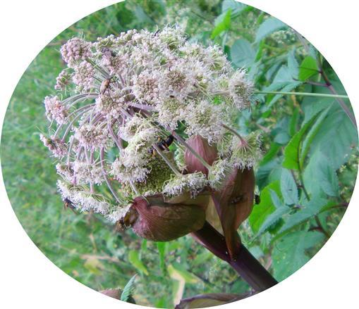 Gefleckter Blütenbock(Pachytodes cerambyciformis(Schrank 1781)) auf Arznei-Engelwurz(Angelica archangelica(L.))