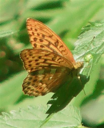 Kaisermantel(Argynis paphia(L. 1758))