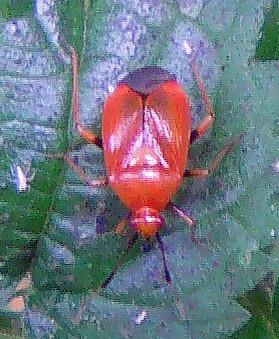 Rote Weichwanze(Deraecoris ruber(L. 1758))