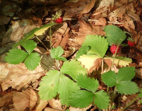 Walderdbeeren(Fragaria vesca(L.)) fruchtend