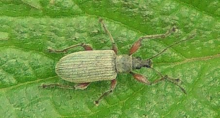 Grünrüssler(Phyllobius)